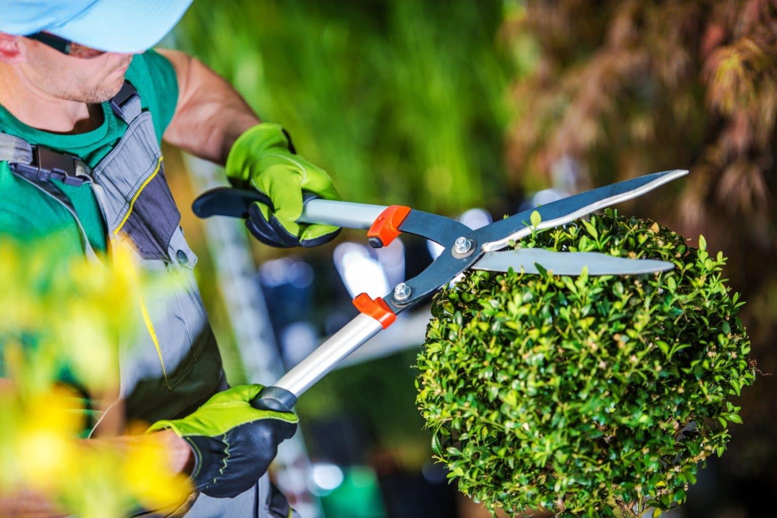 Jardinier taillant un arbuste.